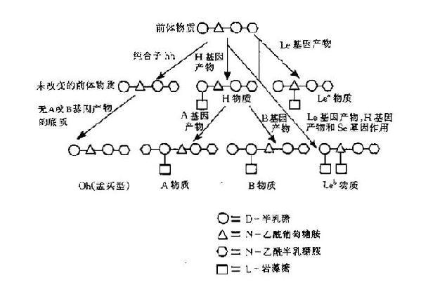 H,A,B及Lewis抗原形成示意图