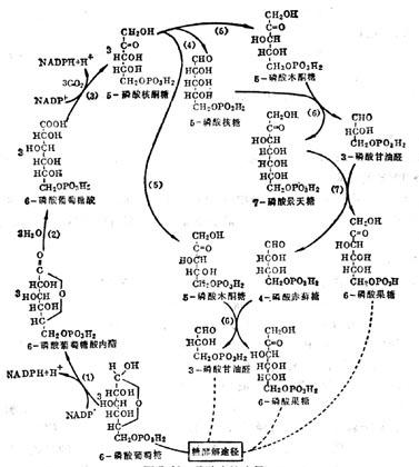 磷酸戊糖途径