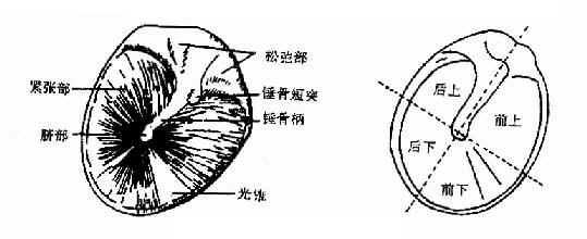 鼓膜正常所见及四个象限