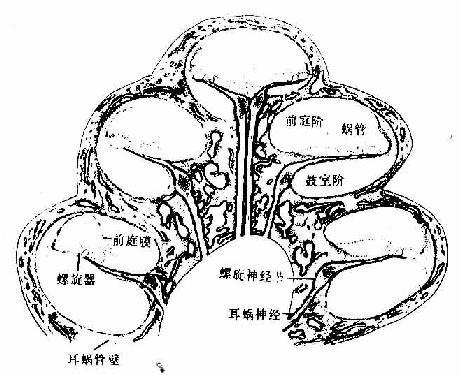 人耳蜗垂直切面模式图
