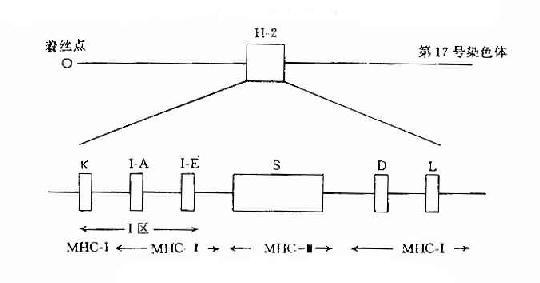小鼠H-2复合体结构示意图