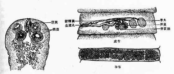 缩小膜壳绦虫成虫