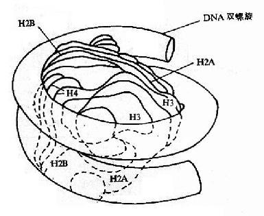 DNA的高级结构