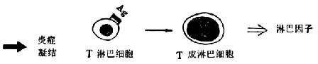 Ⅳ型变态反应示意图接触性皮炎