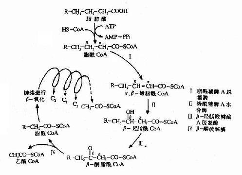 脂肪酸β氧化反应过程