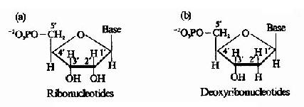 核糖核苷酸(a)和脱氧核糖核苷酸(b)的化学结构