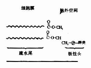显示胞膜定位的磷脂结构