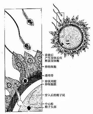 精子顶体反应与受精