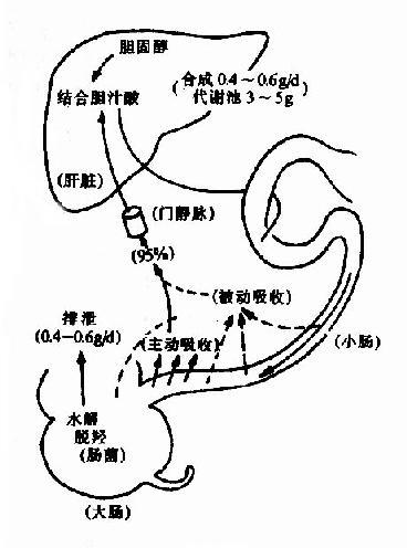 胆汁酸的肠肝循环