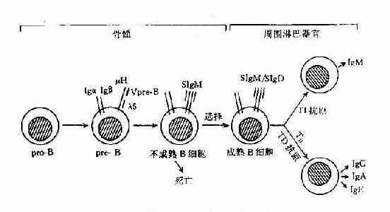 B细胞分化膜式图