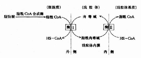 肉毒碱参与脂酰辅酶A转入线粒体示意图