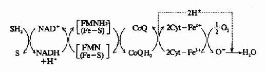 有氧氧化稳定时各种传递体的还原太分数
