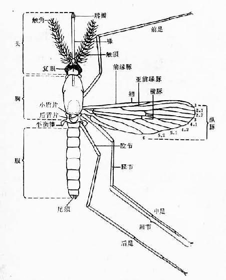 雌库蚊模式图