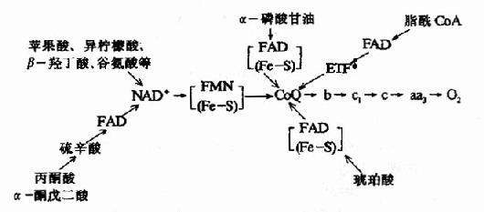 琥珀酸氧化呼吸链