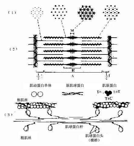 骨骼肌肌原纤维超微结构及两种肌丝分子结构模式图