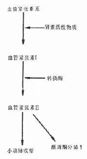 肾素-血管紧张素-醛固酮系统