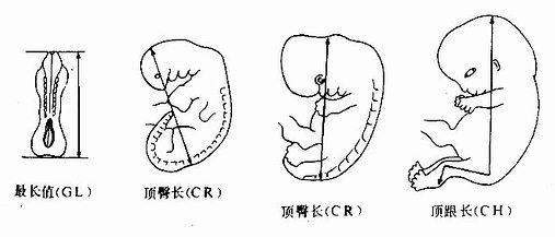 胚胎长度测量