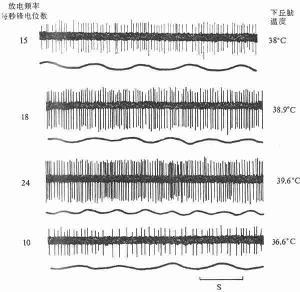 下丘脑局部加温时热敏神经元放电的记录(上)和呼吸曲线(下)(猫)