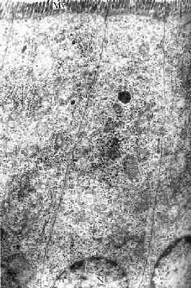 小鼠小肠吸收细胞电镜像