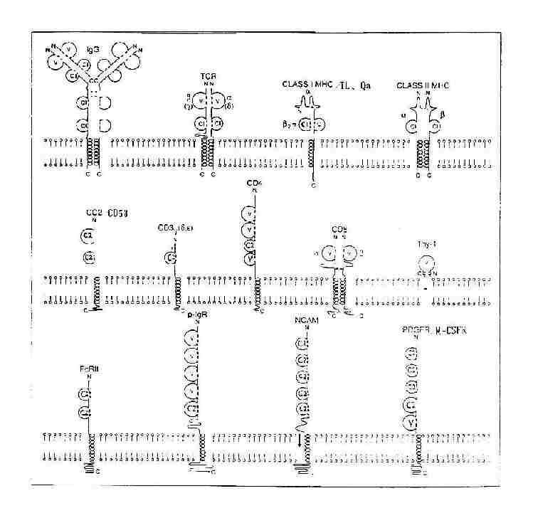 免疫球蛋白超家族V组、C1组和C2组结构模式图