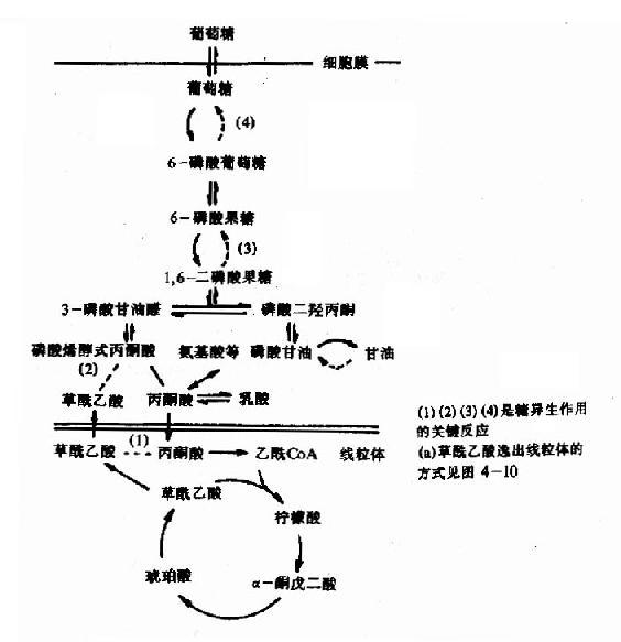 肝与肾皮质中糖氧化与糖异生的通路