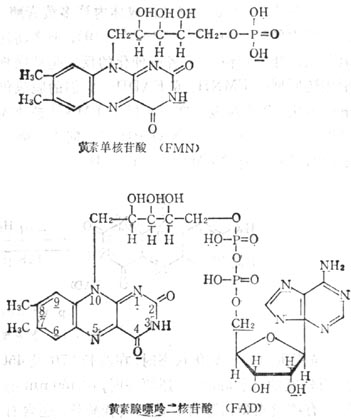 核黄素嘌呤二核苷酸(FAD)