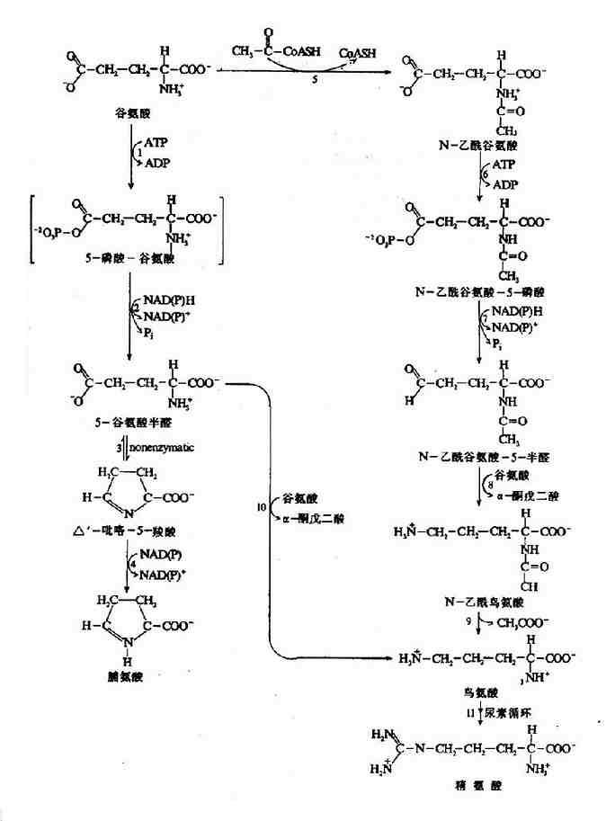 由谷氨酸生成脯氨酸、鸟氨酸和精氨酸