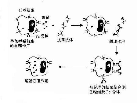 抗体的调理吞噬作用