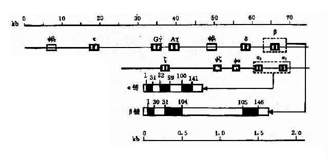 人类α珠蛋白基因簇和人类β珠蛋白基因簇的结构及排列顺序