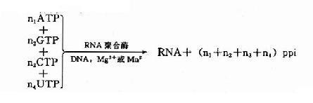 RNA聚合酶催化反应
