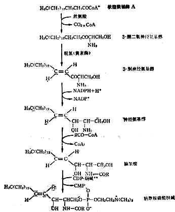 脑酰胺磷酸胆碱的合成途径