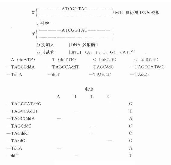核酸碱基序列分析