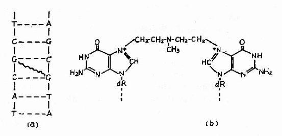 氮芥引起DNA分子两条链在鸟嘌呤上的交联