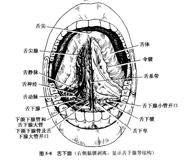 舌体.jpg