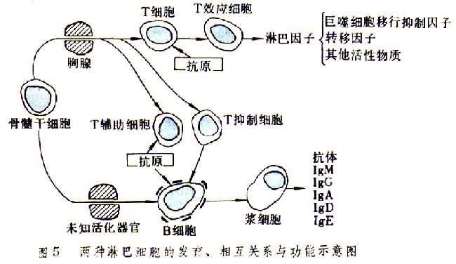 两种淋巴细胞的发育关系功能示意图