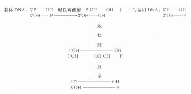 经碱性磷酸酶处理后载体DNA与目的基因DNA的连接