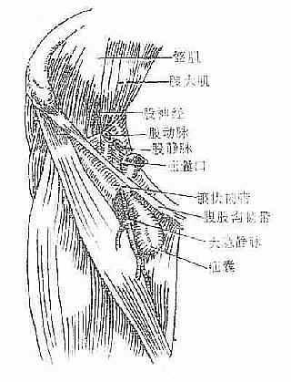 股疝的解剖关系