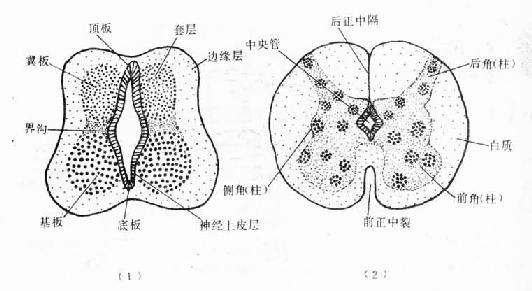 脊髓的形態發生