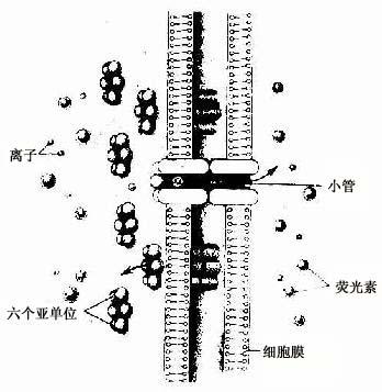 缝隙连接超微结构模式图