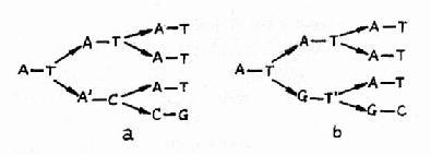 腺嘌呤的稀有互变异体与胞嘧啶