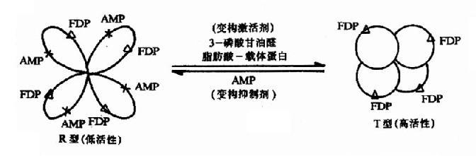 果糖-1,6二磷酸酶的变构效应