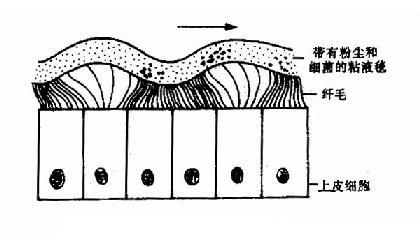 鼻粘膜纤毛上皮及粘液毯的运动形式