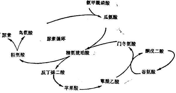 尿素合成的途径