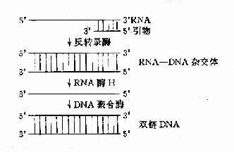 反转录酶催化的反转录作用