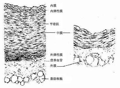 中动脉(左)和中静脉(右)