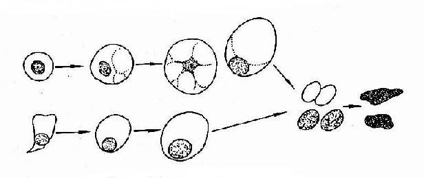 脱落细胞肿胀性退变过程示意图