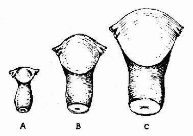 宮體與宮頸長度比例