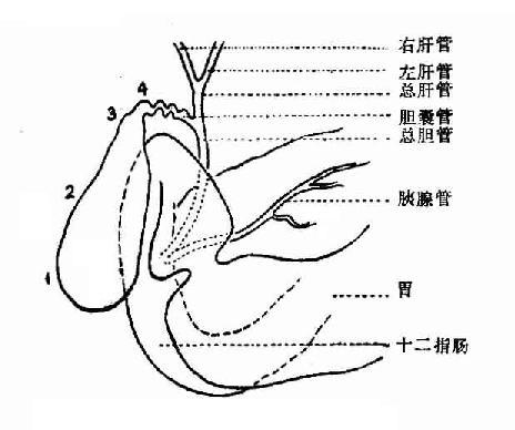 胆道解剖示意图
