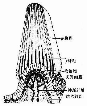 壶腹脊结构模式图