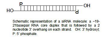 SiRNA structure2.jpg